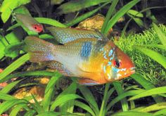 Ram Cichlid, also called Blue Ram, German Ram, Butterfly Ram, or Golden Ram