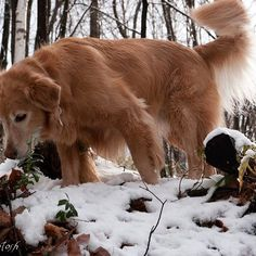 【taro_tosh】さんのInstagramの写真をピンしています。《たろちゃん、何かお探しですか? #冬 #森 #雪 #林 #森 #木 #枝 #search #winter #snow #woods #forest #retriever  #犬 #ゴールデンレトリーバー  #レトリバー #ゴールデン #犬バカ部 #癒しワンコ #ふわもこ部 #ゴールデンレトリバー  #dogsofinstagram #WebstaPets #ilovemydog #dogoftheday #dogsofinstaworld #mydogiscutest #goldenretriever #instadog #adventurewithdogs》