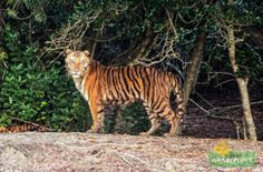 The Royal Bengal Tiger Sunderban Photo Credit: Nilanjan Patra