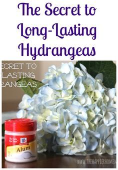 """The Secret to Long-Lasting Hydrangeas To prevent that """"sticky stuff"""" from forming you need the secret ingredient-alum! (Find it in the spice aisle.) When you are arranging your flowers re-cut the stem and immediately stick the bottom 1/2″ of the stem in the alum, then arrange as usual. It's easy and works! No more wilted blooms!"""
