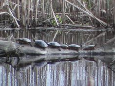 Painted turtles on a log in Beaver Brook Pond