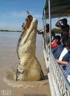 This is Brutus, generally considered the largest recorded salt water crocodile. He's found in Western Australia. Also besides being massive, is known for these tour pictures and his iconic missing front right appendage. Giant Animals, Large Animals, Crocodile Marin, Crocodile Animal, Cute Animals Kissing, Funny Animals, Meanwhile In Australia, Saltwater Crocodile, Funny Photos