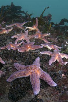 Common starfish - Norway