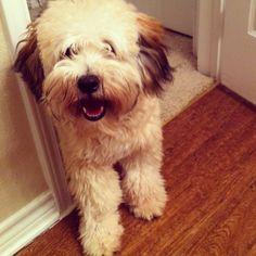 My Whoodle! Wheaten terrier + poodle! Cutie pie!