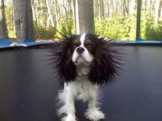 You too can have fur like this...all you have to do is jump on the trampoline or rub a balloon in it! #CavalierKingCharlesSpaniel