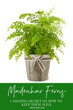 There is one secret you need to know, that will make it ridiculously easy to keep your maidenhair fern alive. It's surprisingly easy to get your Maidenhair Fern thriving indoors and this article tells all! #houseplants #houseplantcare
