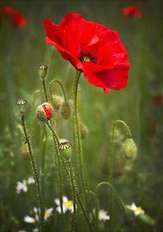 Poppy Field by Moira Swift on poppies, flowers, poppy field, flower photography, flower painting . Flowers Nature, Wild Flowers, Poppy Flowers, Bouquet Flowers, Flower Pictures, Red Poppies, Field Of Poppies, Flower Art, Art Flowers