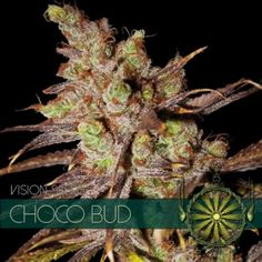 """Even though it might sound a little crazy, we are not insane here at Vision Seeds! """"Choco Bud"""" does actually have a very distinct chocolate/caramel flavor. Seeds For Sale, Grow Tent, Tall Plants, Buy Weed Online, Wild Ones, Hydroponics, Cool Eyes, Cannabis, Herbs"""