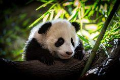 Little Panda - little Fu Feng exploring the new World ...