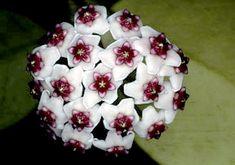 Hoya obovata  http://www.flowershots.net