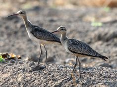 Little curlews | Micha V Jackson