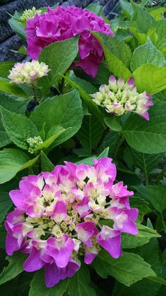 Hydrangea macrophylla 'Let's Dance Rhapsody Blue' growing in a raised bed created by manufactured concrete blocks that turned the blooms pink. http://www.joenesgarden.com/