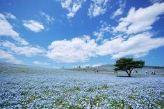 Gorgeous sea of blue flowers. Hitachi Seaside Park - Ibaraki 国営ひたち海浜公園 http://hitachikaihin.go.jp/