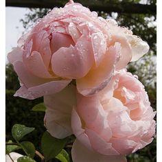 """Результат пошуку зображень за запитом """"роза гентли гермиона"""""""