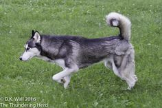 Who is wishing? Who is dreaming? And who is hoping? #dog #siberianhusky #husky