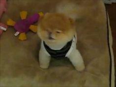 pomeranian boo, labs, jessica stuff, funni anim, precious boo, cutest dog, pomeranians, puppi, little dogs