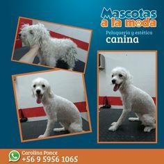 Les presentamos a Cristal, un cachorrito que vino por un nuevo look...Gracias por preferirnos. <3 #peluqueriacanina #doglover #nuevolook #esteticacanina