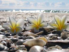 Plumeria on a beach