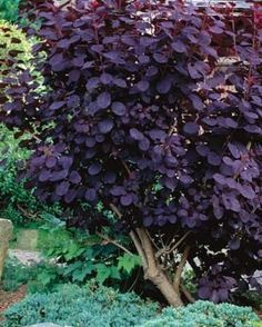 8 shrubs that provide reliable good looks without a lot of work // Great Gardens & Ideas // Purple Smoke Bush (Cotinus) Garden Shrubs, Diy Garden, Garden Trees, Dream Garden, Lawn And Garden, Garden Plants, Shade Garden, House Plants, Purple Smoke Bush