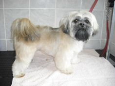 Lhasa+Apso+Grooming+Style+Descriptions | Lhasa Apso Grooming Style Descriptions - Bing ... | warm your heart w ...