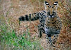 """Serval The word Serval is derived from a Portuguese word meaning """"wolf-deer."""" Size and Appearance: Often referred to as the cat of spare parts, this unusual, but beautiful cat is among the feline. Gatos Serval, Serval Cats, Siamese Cats, Big Cats, Cute Cats, Savanna Cat, Jaguar, Animals And Pets, Cute Animals"""