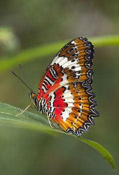 ~~Orange Lacewing butterfly by angiud~~