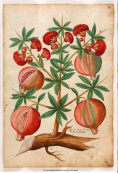 Pomegranate, from Magnarum Medicinae partium herbariae et zoographiae imaginesm, 1553. Owned by Christoph Jacob Trew, Nuremberg. University of Erlangen.