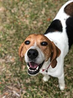 Pictures of Elvis a Treeing Walker Coonhound for adoption in Hartford, CT who needs a loving home. Hound Puppies, Dogs And Puppies, Walker Hound, Treeing Walker Coonhound, Dog Rules, Cows, Pet Adoption, Annie, Doggies