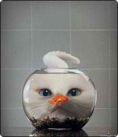 chat blanc poisson rouge