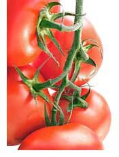 Tomato Growing Tips:  Tomato varieties, such as Oregon Spring, Early Girl, and Stupice, are bred to develop fruit early and are perennial favorites.