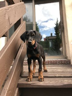 Some of the things I admire about the Energetic Doberman Pinscher Pup Doberman Pinscher Puppy, Dachshund Puppies, Cute Puppies, Cute Dogs, Black Doberman, Doberman Love, Weimaraner, Vizsla, Rottweiler