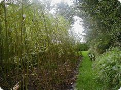 Growing willow - 8ft/yr