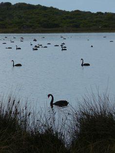 Black Swan, Albany, Western Australia, Australia