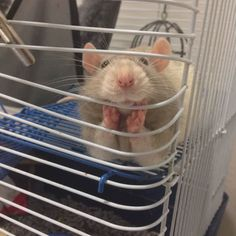 Funny pictures about And people say rats can't be cute. Oh, and cool pics about And people say rats can't be cute. Also, And people say rats can't be cute. Funny Animal Pictures, Cute Funny Animals, Funny Cute, Cute Pictures, Funny Pics, Hilarious, Videos Funny, Random Pictures, Animal Pics