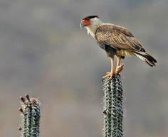 Noordelijke Kuifcaracara  (Van vroegevogels)