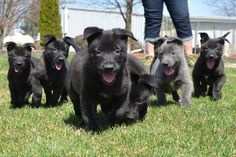 here they come . . . Dutch Shepherd puppies