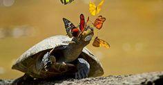 une-tortue-papillon