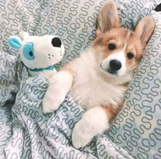 Cute Dogs And Puppies Corgi Cute Funny Animals, Cute Baby Animals, Funny Dogs, Animals And Pets, Cute Corgi Puppy, Corgi Dog, Dog Cat, Pet Dogs, Wiener Dogs