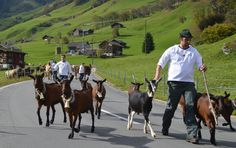 Annual cattle drive/ Alpabzug in Elm which is a tradition in Switzerland that's hundreds of years old: In the alpine parts of the country the farm animals spend the summer months high up in the mountains on alpine farms. When the end of summer is near the animals are brought back down to the valley- by foot of course, which means that the cows and farmers often walk for many hours.