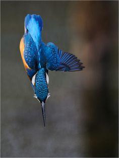 #kingfisher #eisvogel