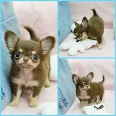 Effective Potty Training Chihuahua Consistency Is Key Ideas. Brilliant Potty Training Chihuahua Consistency Is Key Ideas. Teacup Chihuahua, Chihuahua Puppies, Cute Puppies, Dogs And Puppies, Cute Baby Animals, Animals And Pets, Funny Animals, Beautiful Dogs, Animals Beautiful