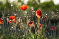 Poppies | Poppies covered in dew, backlit by the rising sun. / Photo: James Whitesmith on Flickr
