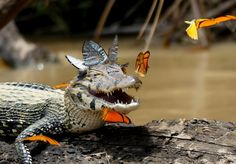 This Caiman Has A Better Butterfly Snapchat Crown Than You'll Ever Have