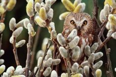 pussy willow | 490321 001 art wolfe getty images saw whet owl in pussy willow tree ...