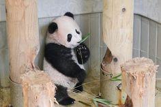 竹をくわえるシャンシャン=9日、東京・上野動物園(東京動物園協会提供)