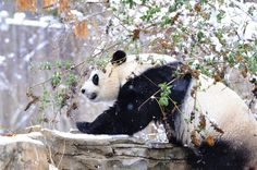 The National Zoo announced Saturday that a team of scientists and veterinarians had artificially inseminated the Zoo's female giant panda after natural breeding failed to occur. (via NBC Washington)