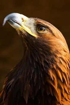 Portrait of a golden eagle by Simon Jones / Eagle Images, Eagle Pictures, All Birds, Birds Of Prey, Beautiful Birds, Animals Beautiful, Shadow Wolf, Eagle Drawing, Photo Animaliere
