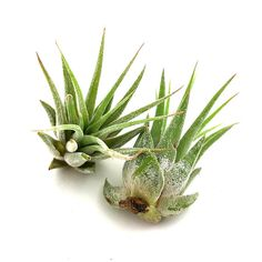 Hey, I found this really awesome Etsy listing at https://www.etsy.com/listing/384705772/1-ionantha-rubra-small-tillandsia-air