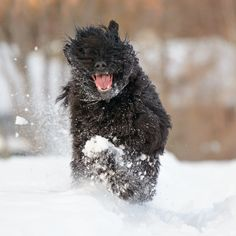 Black Russian Terriers love the snow. Russian Dog Breeds, Russian Dogs, Standard Schnauzer, Giant Schnauzer, Dog Breeds Pictures, Black Russian Terrier, Military Working Dogs, Terrier Dog Breeds, Samoyed