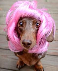 Doxie in a pink wig!